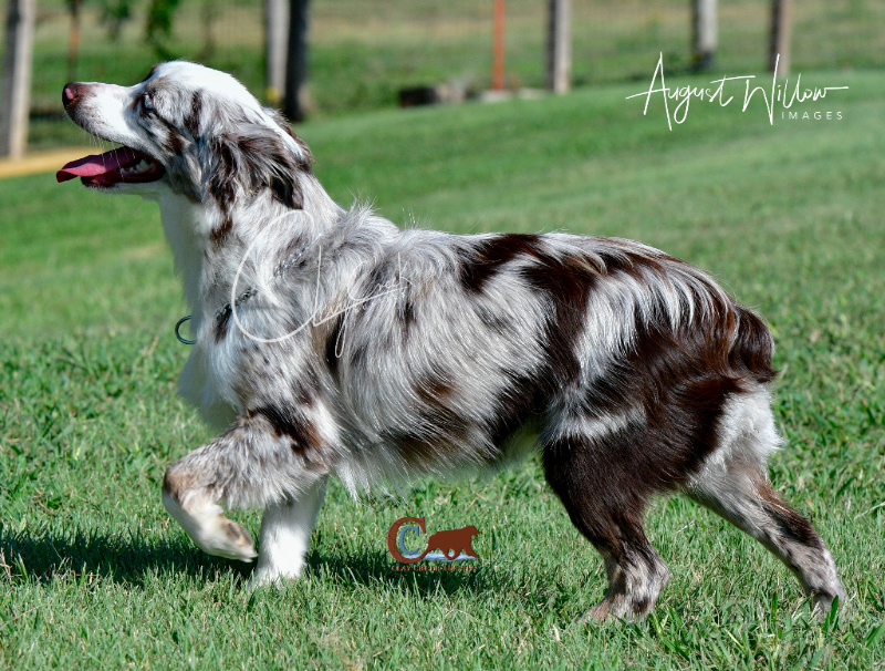 Clay Creek Aussies' Kimber is a dark liver red merle and stands 13 inches.