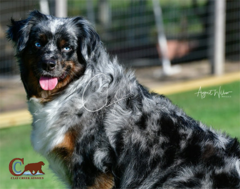 Clay Creek Aussies' Tootsie is a minimal white, dark blue merle with two blue eyes.