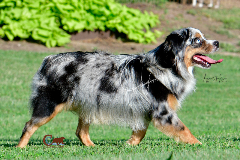 Clay Creeks Aussies' Reese is a dark blue merle with deep copper and has two beautiful blue eyes.