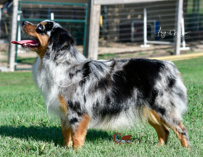 Reese is a dark blue merle with deep copper and has two beautiful blue eyes.