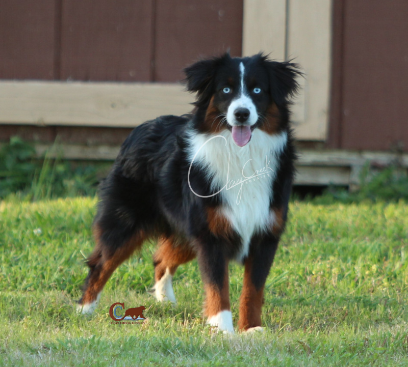 Clay Creek Aussies' Rip is a double blue eyed black tri toy aussie with a tuxedo front accented with deep copper.
